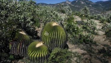Kuliste kaktusy mogą osiągać ogromne rozmiary, jak ten półtorametrowy Echinocactus ingens w środkowym Meksyku.