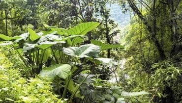 Alokazja amazońska (Alocasia amazonica)