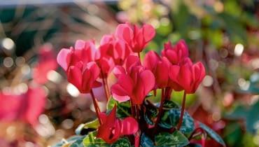 Miniaturowy cyklamen perski - uroczy kwitnący dodatek.