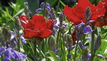 tulipany papuzie 'rococo'
