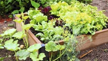 Sadząc warzywa na podwyższonym zagonie wypełnionym mieszanką dobrej ziemi, nie musimy przejmować się złą jakością naturalnej gleby.