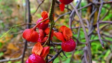 Dławisz okrągłolistny (Celastrus orbiculats). Nazywany bywa pnączem dusicielem, bo z czasem tworzy grube pędy odługości 12 m. Jesienią jego liście przebarwiają się na złoto. Gdy opadną, roślinę przez kilka miesięcy zdobią dojrzewające owoce (o średnicy około 1 cm). Ich żółte osłonki pękają, ukazując nasiona wczerwonych lub pomarańczowych osnówkach. Ale uwaga, owocują jedynie egzemplarze żeńskie (np. odmiana 'Diana'), które zostały zapylone przez okazy męskie (np. odmianę 'Herkules'). Wogrodzie gatunek ten potrzebuje mocnych podpór iwymaga intensywnego cięcia. Mniej silnie rozrasta się na ubogich glebach.