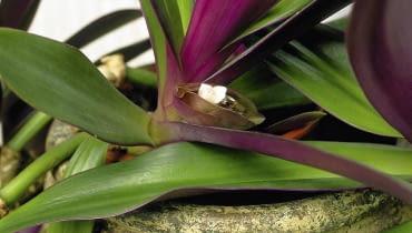 KWIATOSTANY REO przypominają łódeczki. Maleńkie kwiaty wychylają się z nich tylko na kilka godzin