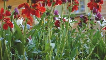 WIOSNĄ rośliny wybuchną kwiatami i oszałamiającym zapachem. Od marca do czerwca wraz z lakami będą kwitnąć też barwne cebulki. Pamiętajmy jednak o regularnym dokarmianiu nawozami płynnymi o dużej zawartości potasu.