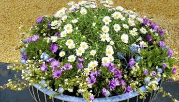 Srebrzeń, fioletowe osteospermum i drobnokwiatowa bakopa posadzone w dużym pojemniku tworzą zgrabną kopułę.
