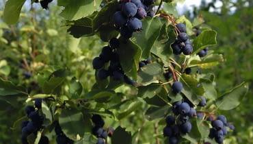 Owoce świdośliwy są smaczne na surowo, a także mrożone, suszone i w przetworach.