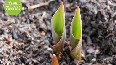 Wzrastające tulipany