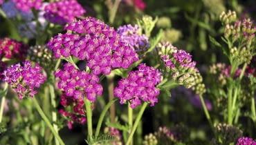 Purpurowy krwawnik 'Cerise Queen' kwitnie od czerwca do października
