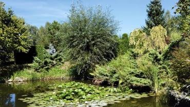 Latem staw zdobią lilie wodne. Pośród nadbrzeżnych wierzb złoci się już od września grujecznik japoński 'Pendulum'.