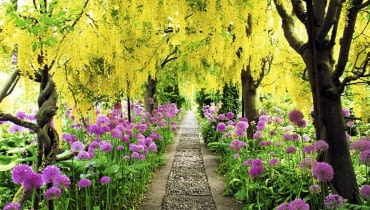 Arch of Laburnum x watereri 'Vossii' underplanted with Alliums at Barnsley House, Gloucestershire.