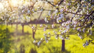 Z początkiem maja zaczynają kwitnąć jabłonie.Najpierw nieśmiało kwitną wcześniejsze odmiany, ale już niedługo dołączają do nich wszystkie drzewa i świat znowu 'nie jest taki zły'. Oby tylko wiosenne przymrozki nie zniszczyły kwiatów.