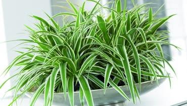 """Zielistka. Jej liście tworzą """"potarganą czuprynę"""" czuprynę. Spomiędzy wąskich blaszek wyrastają długie pędy z kępkami rozmnóżek - młodych roślinek z rozetkami liści i zaczątkami korzeni. To nadaje zielistce efektowny wygląd. W sprzedaży są odmiany o zielonych lub paskowanych liściach. jedne i drugie znoszą nawet długotrwałe przesuszenie, świetnie rosną z dala od okna. Lepeij jednak nie zaniedbywać ich zupełnie i raz w tygodniu podlać. Zimą można je pozostawić w ciepłym pokoju, ale lepiej znoszą ten okres w chłodniejszym (18-20 st. C)."""