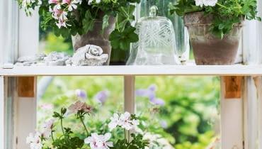 Pelargonie bluszczolistne mają liście podobne do bluszczu - stąd ich nazwa. Ale wzrok przyciągają kwiaty onieco wydłużonych płatkach.