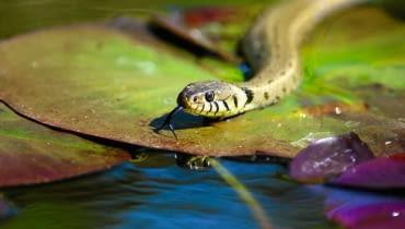 Zaskroniec jest doskonałym pływakiem - pływa z głową uniesioną nad powierzchnią. Potrafi także nieźle nurkować.
