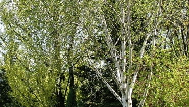 Brzoza pożyteczna (Betula utilis 'Doorenbos'). Drzewa ozdobne