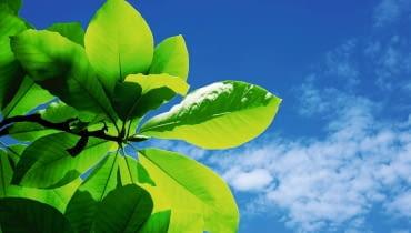O dekoracyjności magnolii parasolowatej decydują szczególnie okazałe liście.