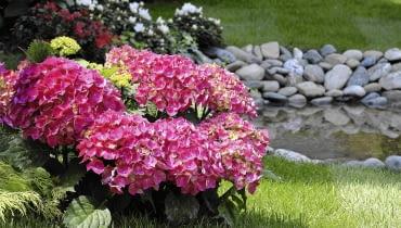 Hortensja ogrodowa zawiązuje pąki już latem. Zimą bez osłony mogą one przemarznąć.