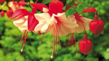 Fuksja. Zależnie od odmiany tworzy kwiaty przypominające drobne dzwonki albo rozdęte lampiony. Gama barw zaczyna się od bieli, i poprzez różne odcienie różowego, prowadzi do czerwieni i amarantu. Rośliny mają pokrój wzniesiony (30-80 cm) albo ich pędy lekko się zwieszają.