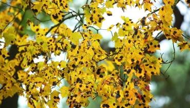 Klon opanowany przez czarną plamistość może już latem zrzucić liście. Najlepiej je zgrabić i spalić!