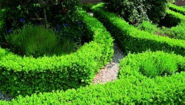Bukszpan wiecznie zielony (Buxux sempervirens) idealnie nadaje się na zimotrawałe, niskie żywopłoty.