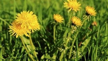Mniszek pospolity (lekarski) nie jest wybredny co do rodzaju gleby. Jego obecność wyklucza jednak glebę podmokłą.