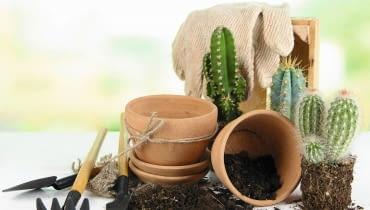 Kaktusy przesadzajmy w grubych rękawiczkach, by nie pokłuć się cierniami.