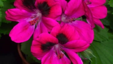 Pelargonia angielska (Pelargonium grandiflorum) 'Karl Offenstein'