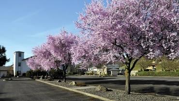 01AHM5M0 - Flowering Plum Trees