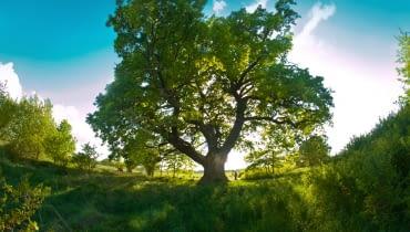 Dąb Słowianin - Drzewo Roku