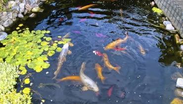 Ryby Gdy temperatura spadnie poniżej 8°C, przestajemy je karmić. Egzotyczne gatunki i ryby z płytkiego oczka odławiamy. Te, które zostają w zbiorniku, na zimę zapadają w sen.