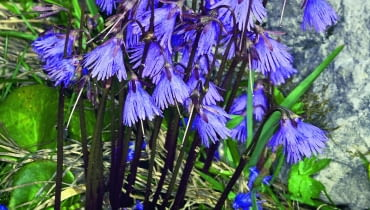 Urdzik alpejski (Soldanella alpina) rozwija kwiaty w kwietniu i w maju. Osiąga wówczas wysokość 10-15 cm.