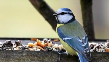 Karmniki dla ptaków. Dokarmiając ptaki mamy szansę zobaczyć wiele pięknych gatunków