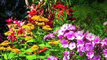 Kolorystyczne kompozycje na rabatach godne największych mistrzów pedzla: tu omany, lilie i floksy.