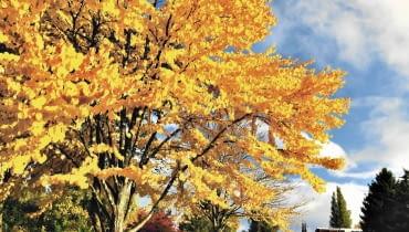Grujeczniki słyną z pięknych jesiennych przebarwień liści na żółto, pomarańczowo, łososiowo lub czerwono.