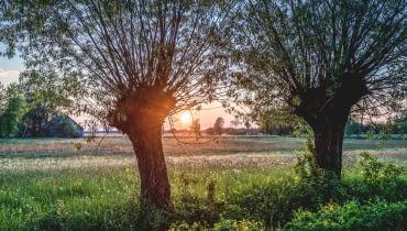 Mazowieckie wierzby Symbol mazowsza, wierzby głowiaste, znikają z krajobrazu. Coraz rzadziej spotykamy te piękne drzewa, bo dziś coraz mniej ludzi docenia wspaniałe właściwości, jakie ma ich drewno.