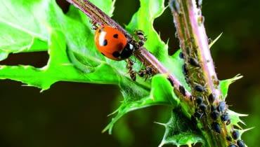 Mrówki broniąkolonii mszyc przed biedronką - ich wrogiem - bo też korzystają z rosy miodowej.
