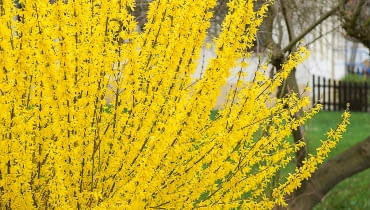 DAKH4H Common forsythia (Forsythia x intermedia 'Lynwood', Forsythia x intermedia Lynwood), cultivar Lynwood