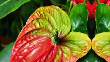 Anturium Andreego (Anthurium andreanum)