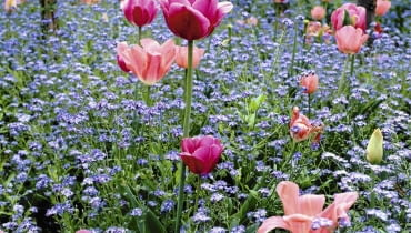 Tulips and Forget-me-not's at Monet's Garden at Giverny SLOWA KLUCZOWE: Blume Farbe Frankreich Fr´hling Myosotis Tulpe Tulpen Vergi?meinnicht blau cerise cottage garden pink rosa tulipa quadratisch