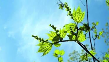 wiosna: Klon pensylwański ma charakterystyczne liście o dwóch głębokich wcięciach. Wraz z liśćmi rozwijają się długie zielone kwiatostany.