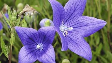 Rozwar, tworzący latem dzwonkowate kwiaty, ma grube proste korzenie, z których można pobierać sadzonki.