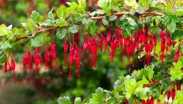 Porzeczka okazała (Ribes speciosum) to rozłożysty krzew dorastający do 2,5 m. wysokości. Ma częściowo zimozielone liście (w łagodne zimy do wiosny pozostają na gałęziach). Wczesną wiosną obsypuje się czerwonymi kwiatami podobnymi do... fuksji. Porzeczka ta ma niewielkie wymagania, ale w ostre mrozy może przemarzać. Sadźmy ją więc w zacisznych miejscach