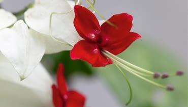 Clerodendrum thomsoniae SLOWA KLUCZOWE: Close Up Close-up Farbe Rot Makroaufnahme Nahaufnahme Nahaufnahmen Strauch rot rote verschlie?en weiss weisse wei? wei?e wei?er Clerodendrum Clerodendrum thomsoniae thomsoniae vertikal wei? Hochformat