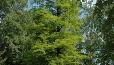 Cypryśnik błotny (Taxodium distichum). Iglaki