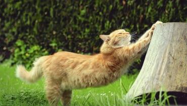 Dobrym pomysłem jest oddanie kotu do dyspozycji ściętego pniaka - będzie o niego ostrzył pazurki.