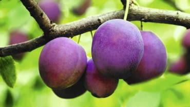 szkodniki owoców