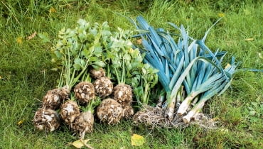 Z warzywnika nie musimy wyrywać wszystkich warzyw naraz. Najpóźniej wycinamy kapustę, wyrywamy pory i pietruszkę. Warzywa te, dopóki rosną, bez uszczerbku znoszą nocne spadki temperatury, nawet o kilka stopni poniżej zera