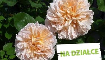 Róża 'Tea Clipper' o pełnych pachnącyh kwiatach