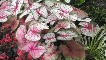 Barwy liści Kaladium mogą być różne nawet na jednej roślinie. Zależy to głównie od ilości światła, która do nich dociera. Na zdjęciu 'White Queen'