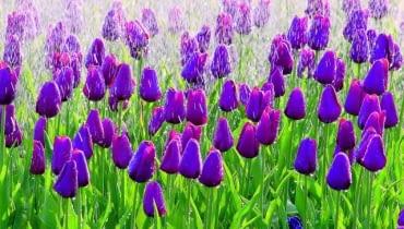 Tulipan 'Inge de Bruyn' kwitnie w połowie maja. Cebulki należy sadzić jesienią